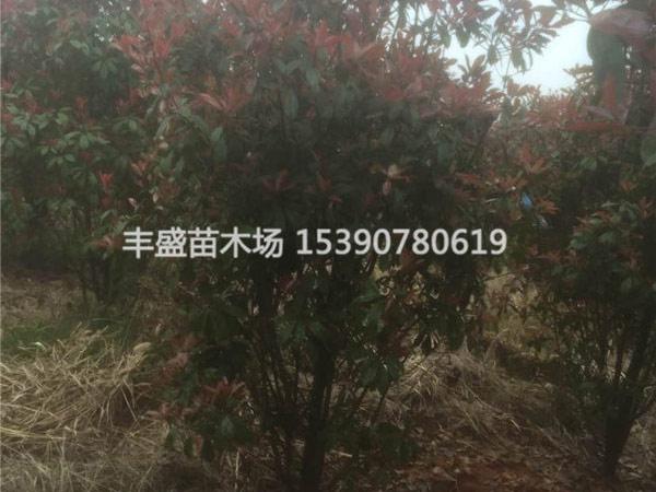 丛生红叶石楠