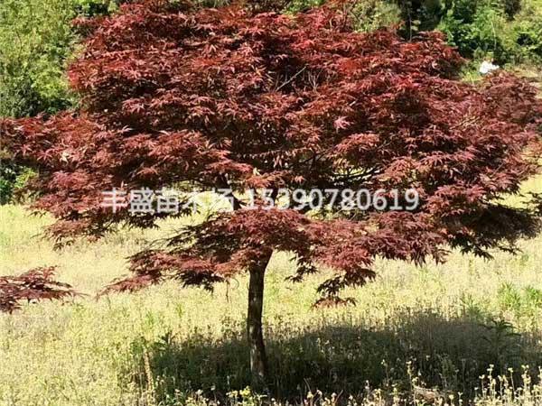 7公分红枫