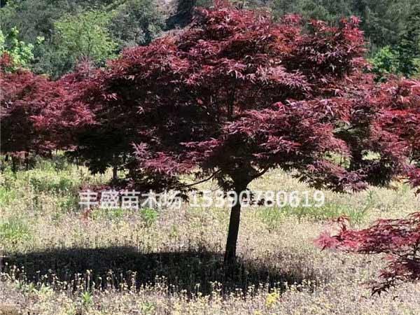 6公分红枫